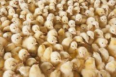 大小组在养鸡场的婴孩小鸡 免版税图库摄影