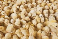 大小组在养鸡场的婴孩小鸡 库存图片