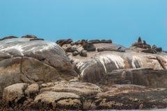 大小组海角海狗在, Hout海湾港口,开普敦,南非 库存图片