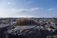 大小组熔岩仙人掌在加拉帕戈斯 库存照片