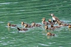 大小组鸭子 图库摄影