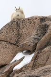 大山羊山岩石坐 库存图片