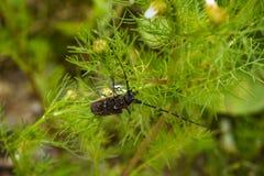 大山羊座甲虫坐雏菊特写镜头 库存图片