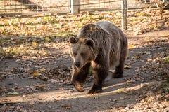 大布朗北美灰熊 免版税库存照片