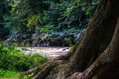 大布朗树 免版税库存图片