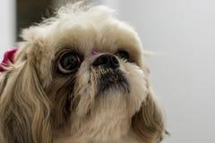 大布朗注视狗 免版税库存照片