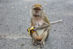 大布朗猴子在它的手上拿着一个黄色香蕉 免版税图库摄影