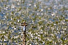 大平的蜻蜓坐在水背景的一个分支  库存照片
