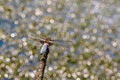大平的蜻蜓坐在水背景的一个分支  免版税图库摄影