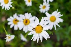 大庭院雏菊的领域与昆虫的一个晴天 免版税图库摄影