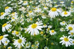 大庭院雏菊的领域与昆虫的一个晴天 免版税库存照片
