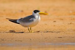 大开帐单的燕鸥, Phaetusa单工,在河沙子海滩,内格罗河,潘塔纳尔湿地,巴西 鸟在自然海栖所 漏杓博士 免版税库存图片
