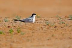大开帐单的燕鸥, Phaetusa单工,在河沙子海滩,内格罗河,潘塔纳尔湿地,巴西 鸟在自然海栖所 漏杓博士 库存照片