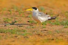 大开帐单的燕鸥, Phaetusa单工,在河沙子海滩,内格罗河,潘塔纳尔湿地,巴西 与开放翼的漏杓饮用水 Wil 库存图片
