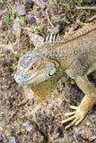 大开曼蓝色鬣鳞蜥,蜥蜴的一个濒于灭绝的物种 绿色鬣鳞蜥纵向 鬣鳞蜥野生生物 一只绿色鬣鳞蜥的特写镜头 库存照片