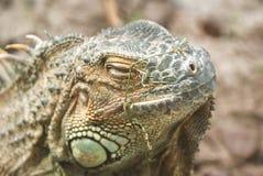 大开曼蓝色鬣鳞蜥,蜥蜴的一个濒于灭绝的物种 绿色鬣鳞蜥纵向 鬣鳞蜥野生生物 一只绿色鬣鳞蜥的特写镜头 库存图片