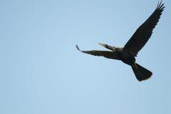 大开的翼-美洲蛇鸟 库存照片