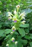 大开花的大麻荨麻(Galeopsis speciosa) 库存照片