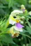 大开花的大麻荨麻(Galeopsis speciosa) 免版税图库摄影