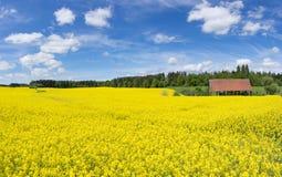 大开花的油菜籽领域 库存图片