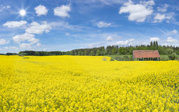 大开花的油菜籽领域 库存照片