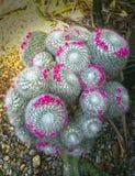 大开花的老妇人仙人掌,桃红色微小的花mamillaria冠  库存照片