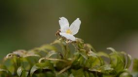 大开花的水草& x28; 女顾问densa& x29;在花 库存照片