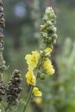大开花的mullein (毛蕊花densiflorum) 图库摄影