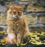 大成人哀伤的红色猫开会 免版税库存图片