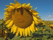 大成熟的向日葵 温尼培 加拿大 免版税库存图片
