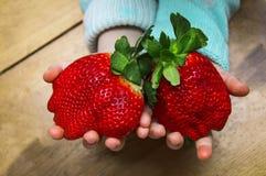 大成熟草莓儿童` s棕榈的大小 孩子在他的手上拿着两个巨大的草莓 免版税库存图片