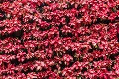 大戟属圣诞树的pulcherrima本质 高的灌木1-3米 免版税库存图片