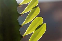 大戟属植物的叶子 图库摄影