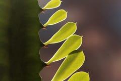 大戟属植物的叶子 库存图片