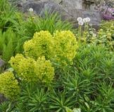 大戟属绿色开花的灌木。 春天西北美国。 5月。 库存图片