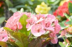 大戟属美丽的花在泰国 免版税图库摄影