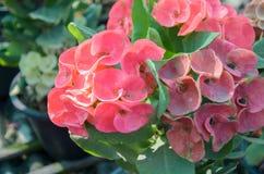 大戟属美丽的花在泰国 图库摄影