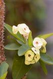 大戟属milii或铁海棠或基督植物或者基督刺 库存图片