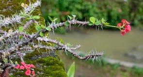 大戟属milii树和花在植物园在新加坡 免版税库存图片