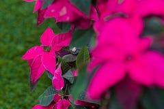 大戟属pulcherrima特征特点圣诞树,灌木1-3米上流 免版税库存图片