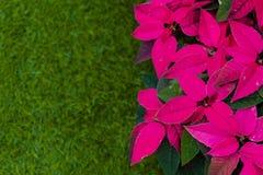 大戟属pulcherrima,因为这几乎是底12月,圣诞节 当夜开始了超过12个小时 免版税库存照片