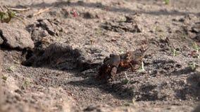 大挖洞的昆虫家庭  蚁酸家庭的生产 在蝗虫的蚂蚁饲料 影视素材