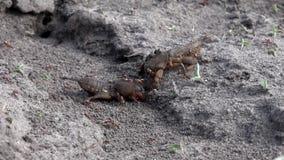 大挖洞的昆虫家庭  蚁酸家庭的生产 在蝗虫的蚂蚁饲料 股票录像