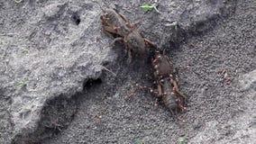 大挖洞的昆虫家庭  蚁酸家庭的生产 在蝗虫的蚂蚁饲料 股票视频