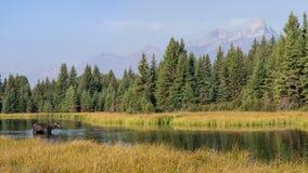 大提顿峰山和麋全景 免版税库存照片