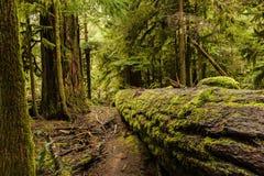 大教堂树丛-麦克米伦省公园,温哥华岛, B 免版税库存照片