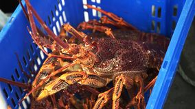 大新近地被捉住的南部的大螯虾 股票录像