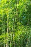 大新鲜的竹树丛在森林里 免版税库存图片