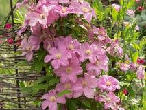 大方地开花的Clematis Comtesse de Bouchaud 免版税库存图片