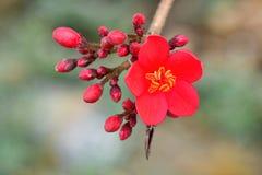 大方开花或红颜色在树在春天在庭院里 免版税库存照片